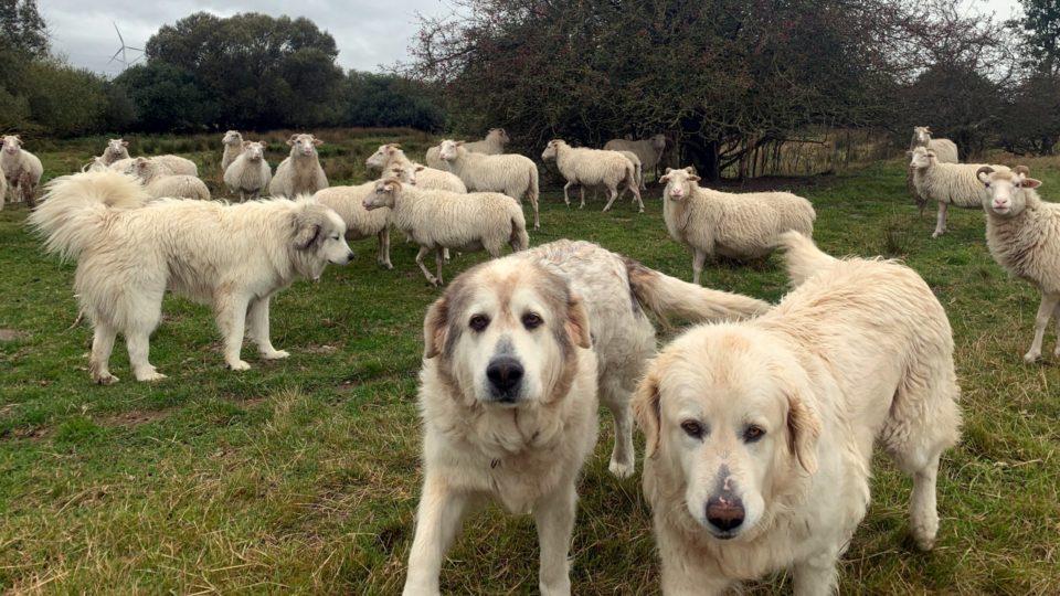 Foto: Herdenschutzhunde und Schafe auf der Weide (Copyright: André Maaßen | art-des-hauses.com)