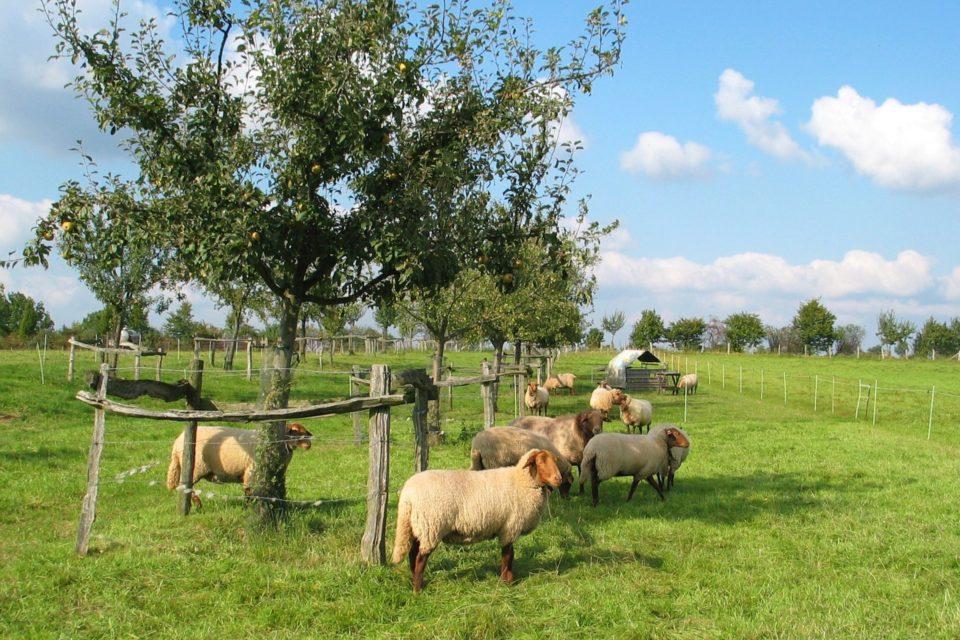 Foto: Schafe in der Weide (© Markus Barkhausen)