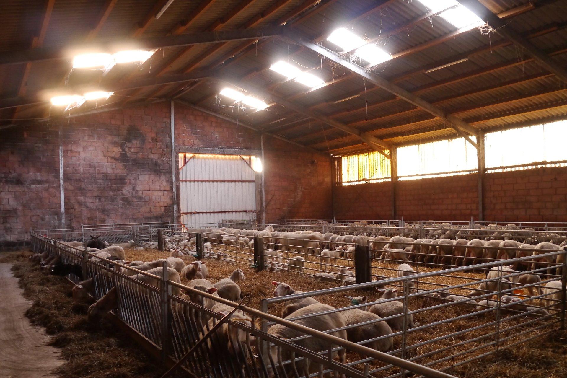 Foto: Schafe im Stall (© Markus Barkhausen)