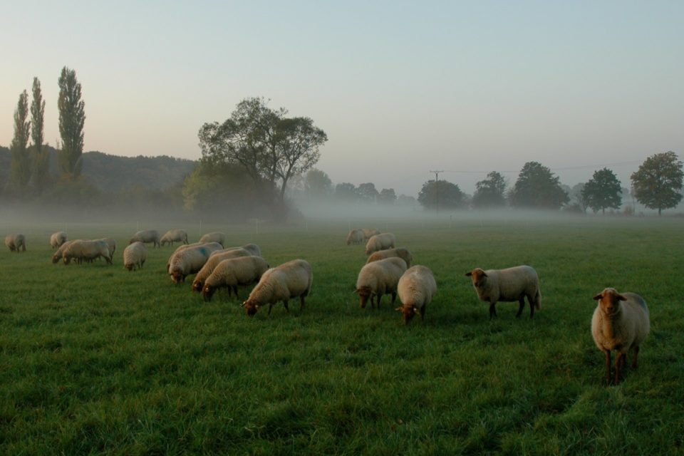 Foto: Coburger Fuchsschafe in der Weide (© Christiane und Thomas Rempen | Hofgut Ashege)