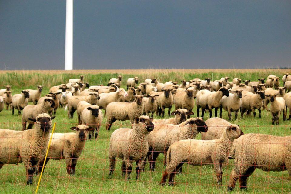 Foto: Schafe auf der Weide (© Markus Barkhausen)