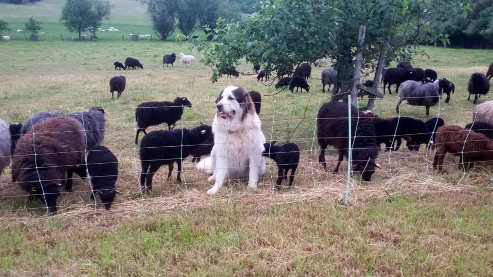Foto: Herdenschutzhund und Schafe hinter elektrischem Weideschutzzaun (© Ortrun Humpert)