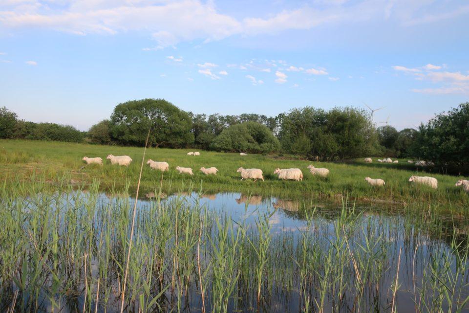 Foto: Schafe im Landschaftsschutz (© Ortrun Humpert)