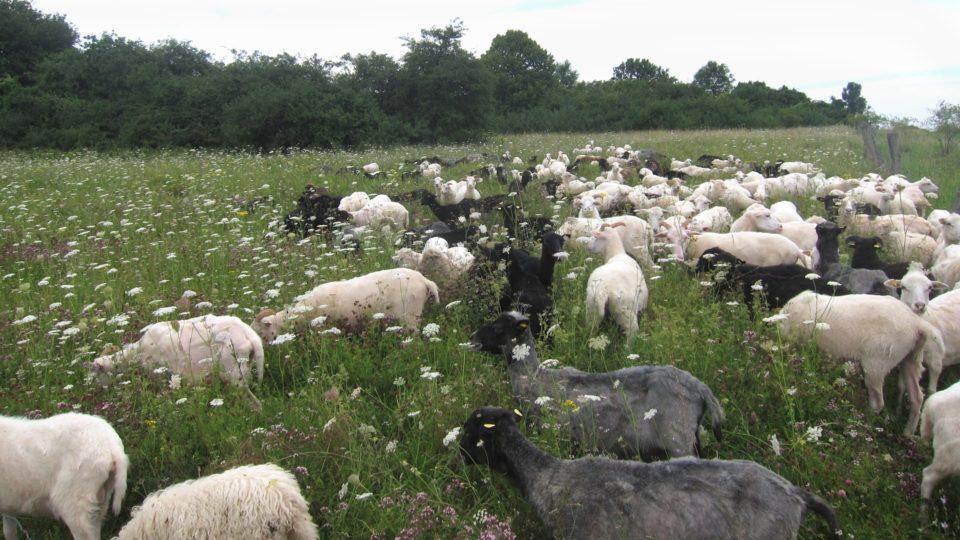 Foto: Schafe auf der Weide (© Ortrun Humpert)
