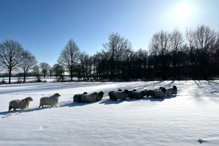 Foto: Gotlandschafe in winterlicher Schneelandschaft (© Christoph Dorr)