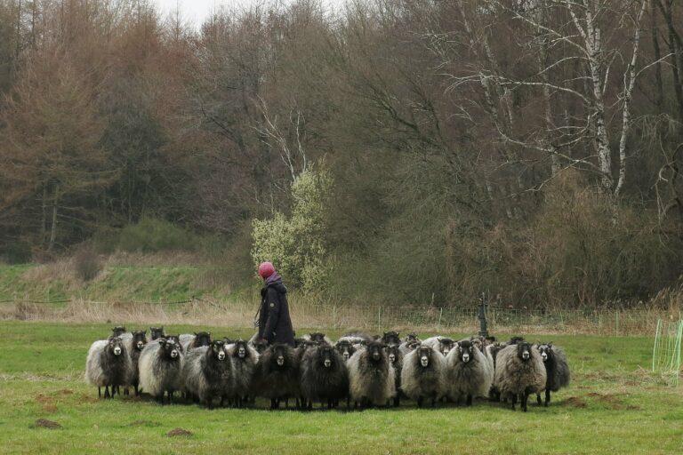 Foto: Schafe beim Schaftrieb (© Christoph Dorr)