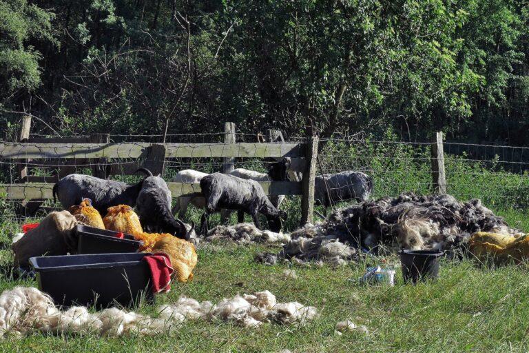 Foto: Schafe inmitten von Wolle auf der Weide nach der Schafschur (© Christoph Dorr)