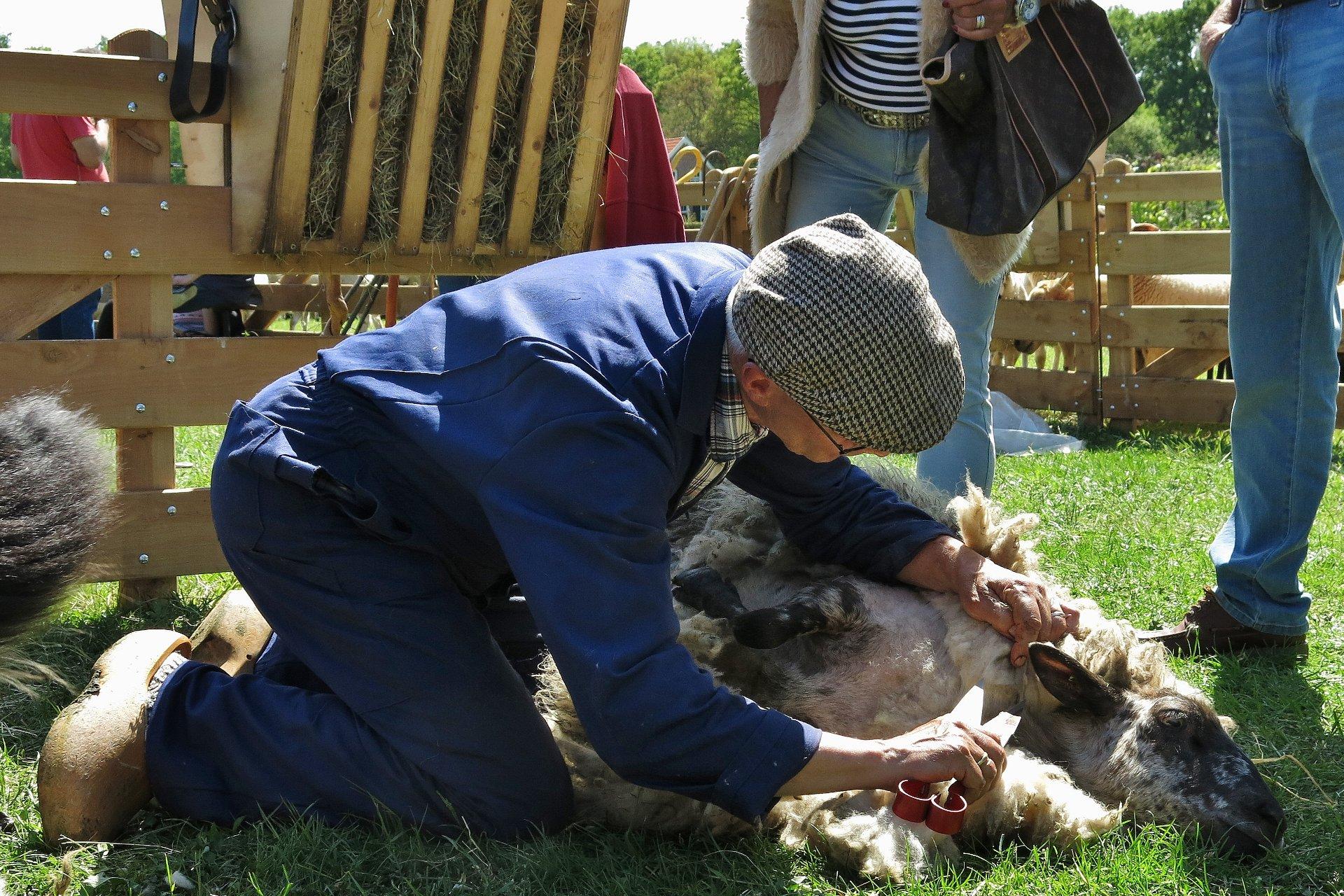 Foto: Schafschur liegend mit Handschere (Demonstration auf Schäfer- und Schafschurfest) (© Christoph Dorr)