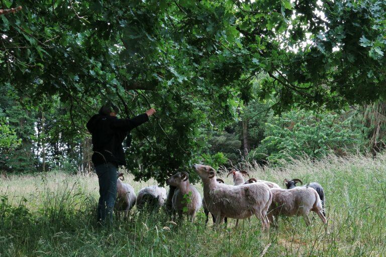 Foto: Schafe erhalten Leckerbissen frisch vom Baum (© Christoph Dorr)