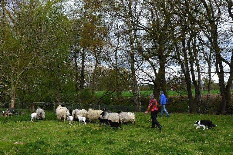 Foto: Schäfer treiben Schafe zusammen (© Christoph Dorr)
