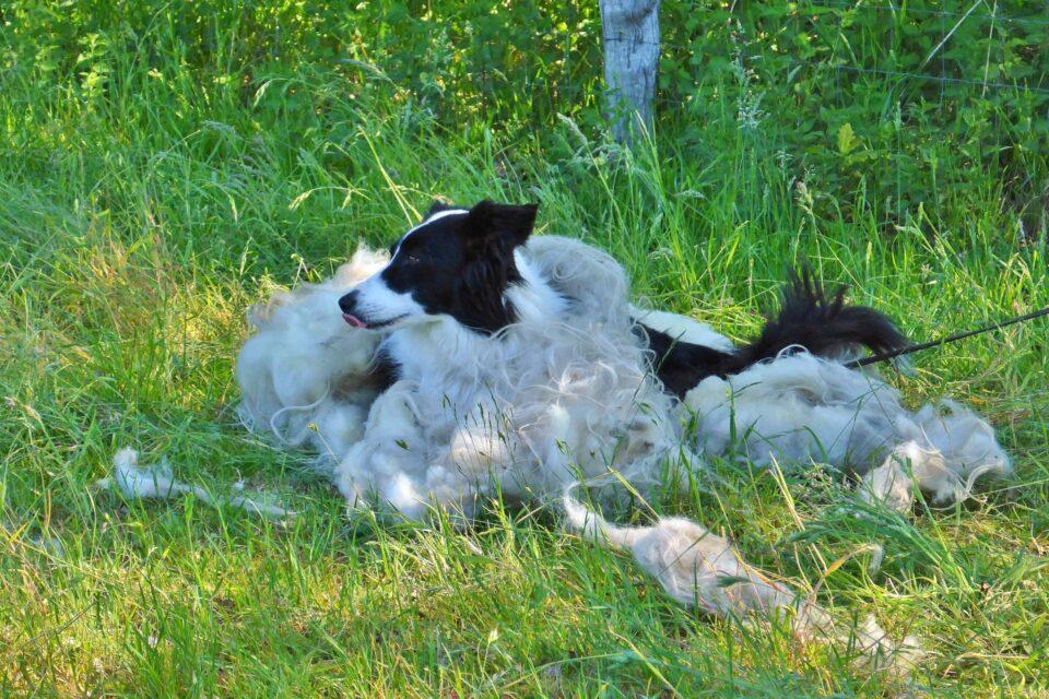 Foto: Hütehund im Wollkleid nach der Schafschur (© Christoph Dorr)