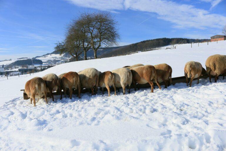 Foto: Schafe an Futtertrögen auf der Winterweide (© Hans-Dieter Gerbracht | braunes-haarschaf.de)