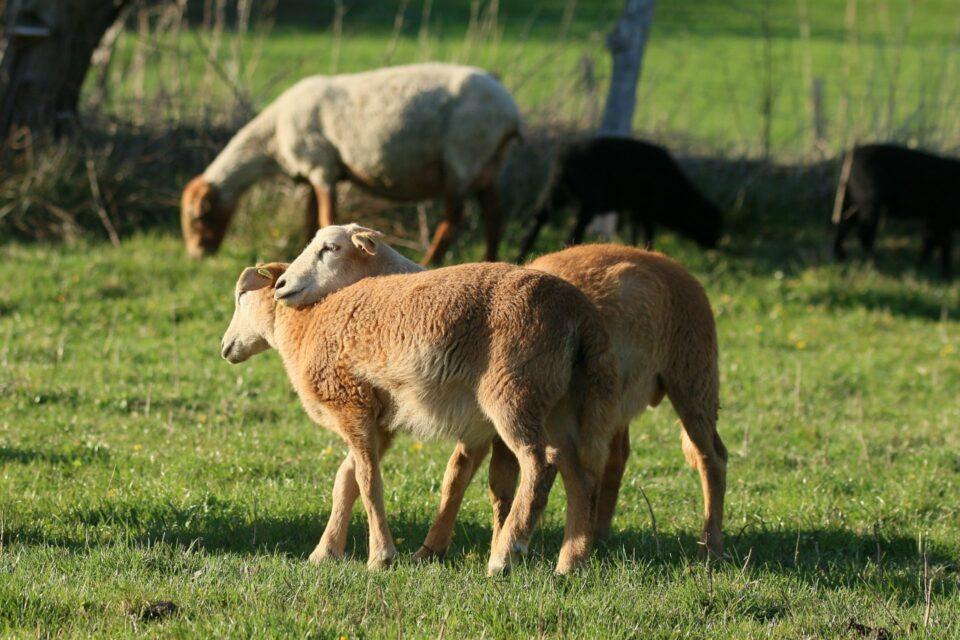 Foto: Schafe auf der Weide (© Hans-Dieter Gerbracht | braunes-haarschaf.de)