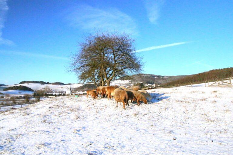 Foto: Schafe auf der Winterweide (© Hans-Dieter Gerbracht | braunes-haarschaf.de)