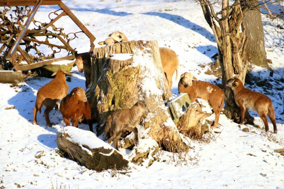 Foto: Lämmer auf der Winterweide (© Hans-Dieter Gerbracht | braunes-haarschaf.de)