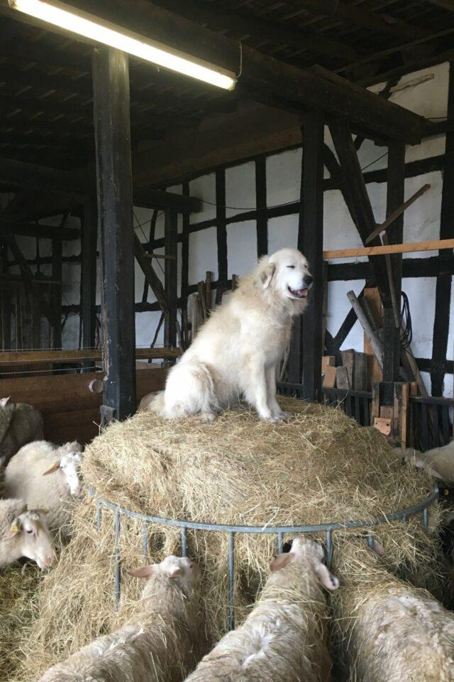Foto: Ostfriesische Milchschafe und Herdenschutzhund im Stall (© Simon Darscheid)