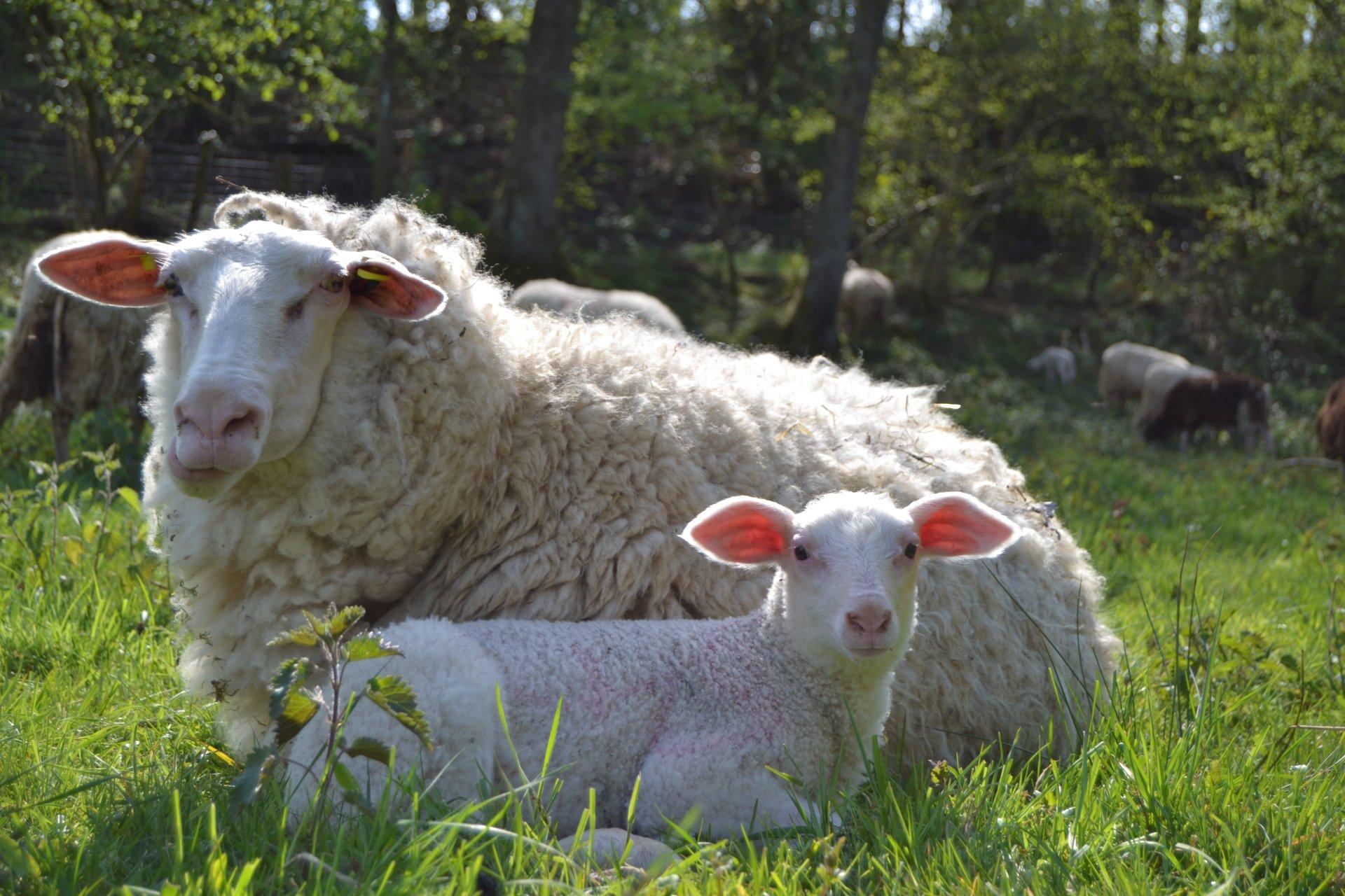 Foto: Lamm und Aue Ostfriesisches Milchschaf (© Simon Darscheid)