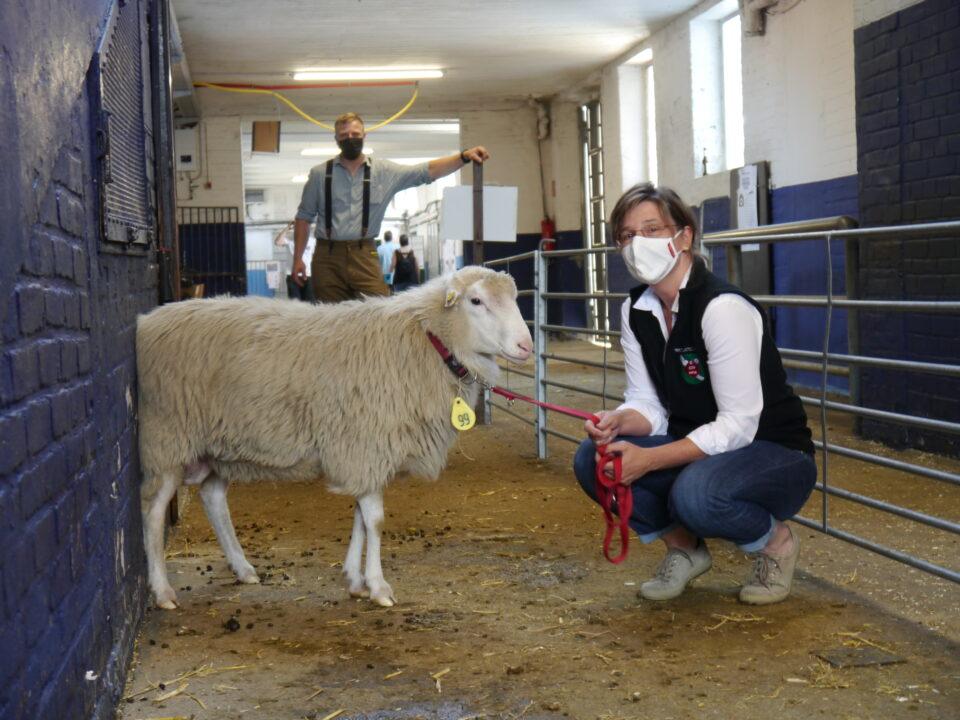 Foto: Der spätere Landessieger aus der Zucht von Iris Behrens wartet auf seine Körung (© Schafzüchtervereinigung NRW)