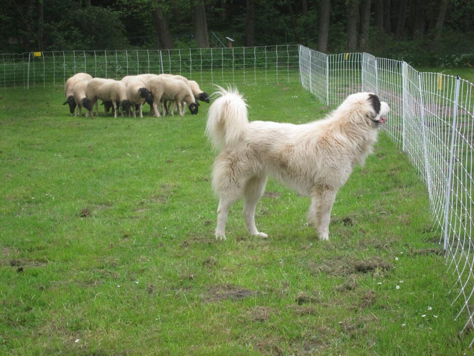 Herdenschutzhund (@ Ortrun Humpert)