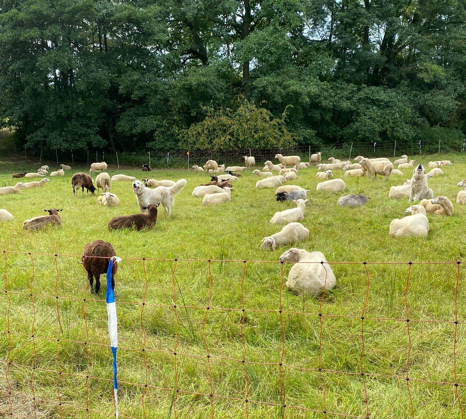Herdenschutzhunde in der Schafherde (@ Simon Darscheid)